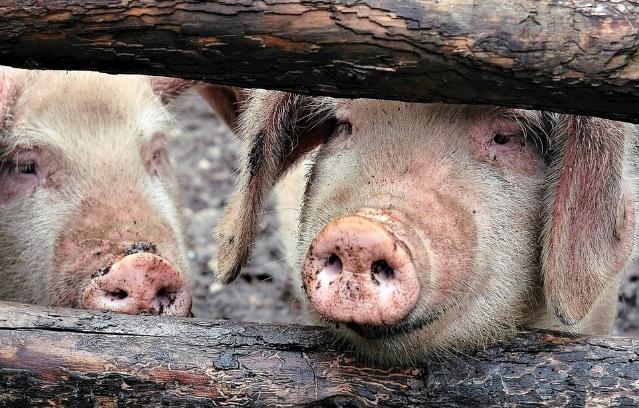 11月1日全国生猪价格土杂猪报价表,土杂猪价格处于震荡状态