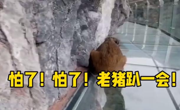 野猪闯进网红玻璃栈道后秒怂 野猪:你行你上