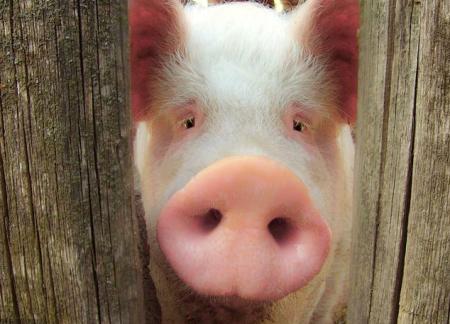 猪场常见肾脏病理意义及解剖要点!