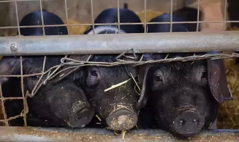 生猪出栏供不应求,广西一合作社,6000头新猪均安然无恙!
