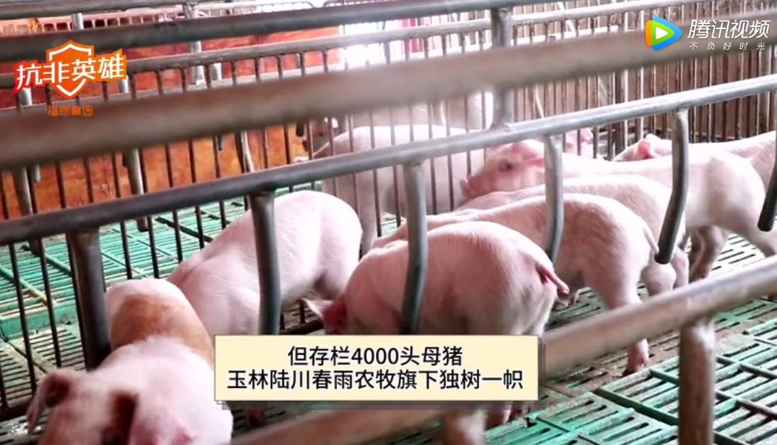 抗非英雄广西春雨农牧(4000头母猪)