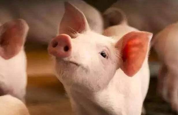 """""""二师兄""""10月份销售均价上涨3成 养猪企业热衷于养大猪和肉转种"""