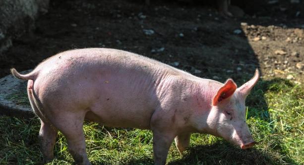 11月9日全国生猪价格内三元报价表,与昨日相比内三元猪价下跌区域增多