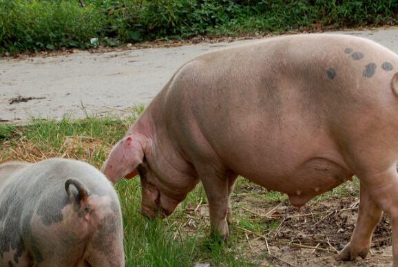 11月9日全国生猪价格外三元报价表,猪价持续下滑给养殖户带来压力