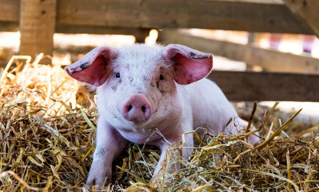 11月11日全国生猪价格外三元报价表,生猪价格迎来四连跌