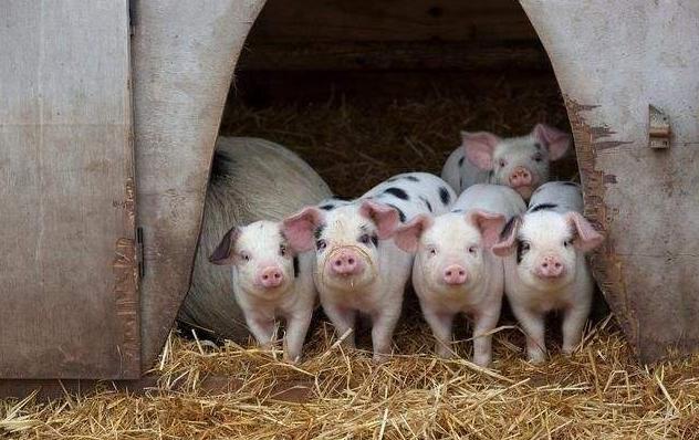 养殖户福利!四川下达中央生猪调出大县奖励资金6702万元