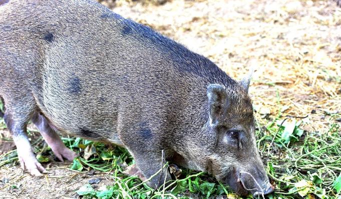 11月12日全国生猪价格土杂猪报价表,除天津外土杂猪价格全线飘绿