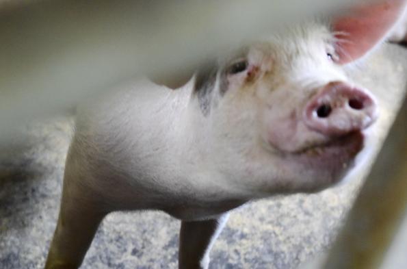 2019年第45周瘦肉型白条猪肉出厂价格监测