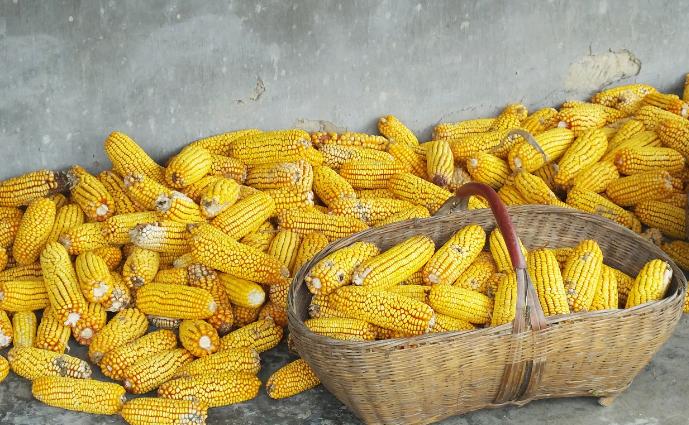11月13日全国玉米价格行情表,上海玉米价格日涨幅200元/吨