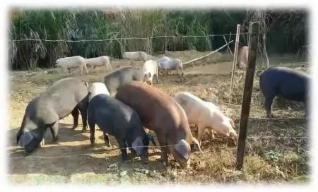 11月13日全国生猪价格内三元报价表,内三元猪价格全线下跌