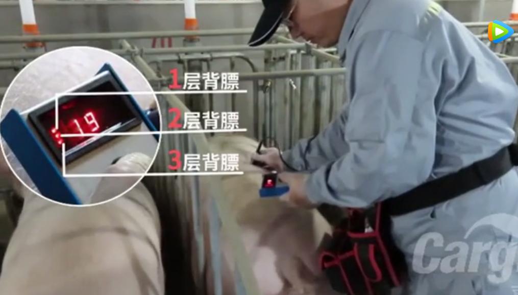 母猪管理:背膘检测的步骤及注意事项!