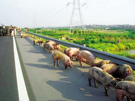 跨省售卖27吨来自河南、辽宁、山东的非瘟阳性生猪产品,商贩杨某被批捕