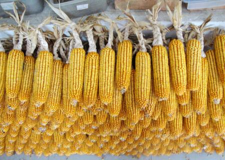 11月14日全国玉米价格行情表,美国玉米价格上涨或拉升国内玉米价格