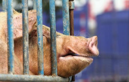 11月14日全国生猪价格土杂猪报价表,云南土杂猪价格成全国首个跌破30元地区