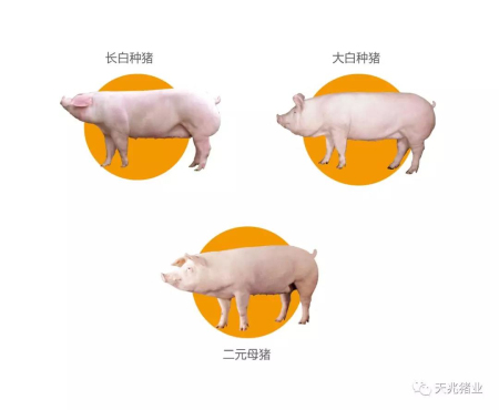 天兆优质种猪