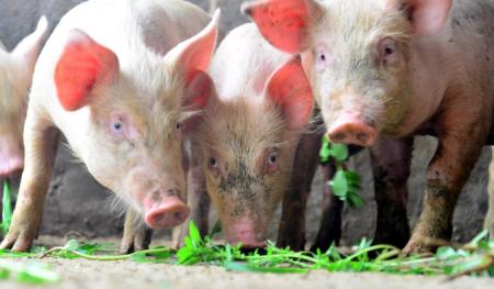 11月14日全国生猪价格,仍现跌势,养殖户盼望着再次上涨