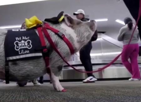 世界首只机场治疗猪 可缓解乘客旅行焦虑