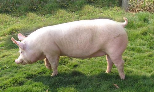 11月15日全国生猪价格内三元报价表,内三元猪价格基本与上月同期持平