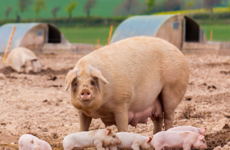 11月18日全国各地区种猪价格报价表,山东青州母猪价格涨至8000元/头