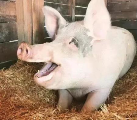 母猪同步排卵控制技术的研究进展 控制母猪排卵时间可降低配种工作量