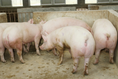 11月19日全国各地区种猪价格报价表,二元母猪价格有所回落