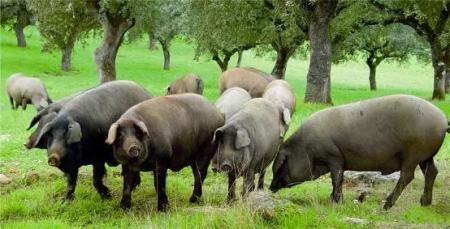 万州弹子镇生猪生态养殖项目开工建设 建成后预计年出栏3万余头生猪