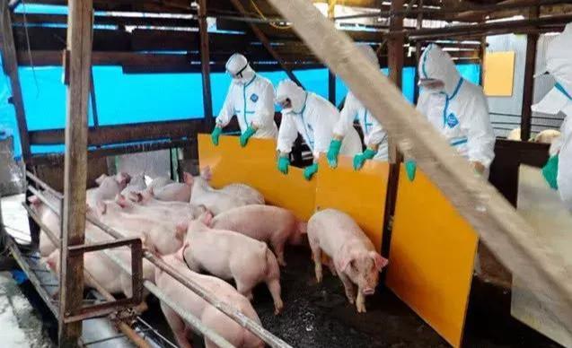 中日将加强合作应对非洲猪瘟