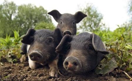 """11月20日全国生猪价格土杂猪报价表,全国土杂猪均价略有""""回暖""""趋势"""