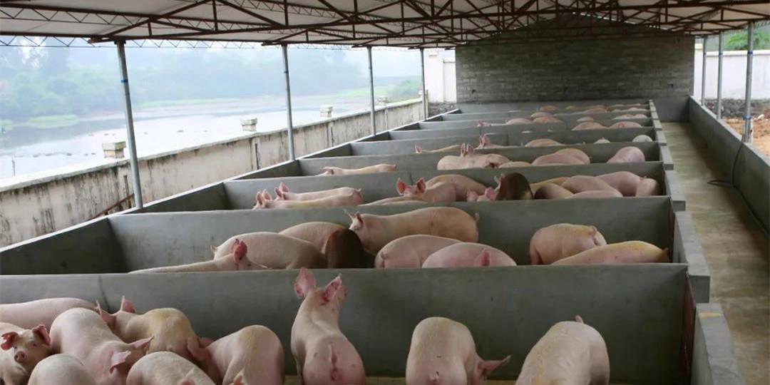 """湖北:""""真金白银""""支持生猪生产促行业转型!"""
