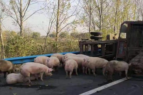 你太贵!40多只猪在高速上乱跑,交警帮忙 一只也没出事