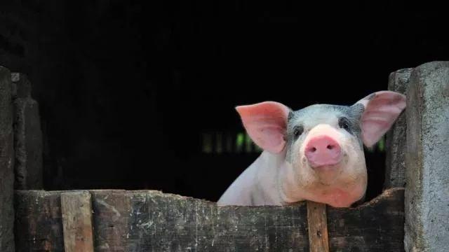 禁止农户养猪是侵犯了中小散户的权利!政策缺乏连续性是复养的阻碍之一