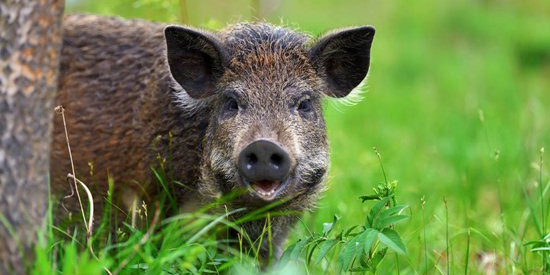 靠养猪赚钱为啥越来越难了?