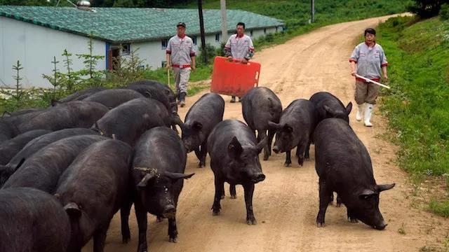 提升猪肉综合生产能力,谨防猪价过快上涨!
