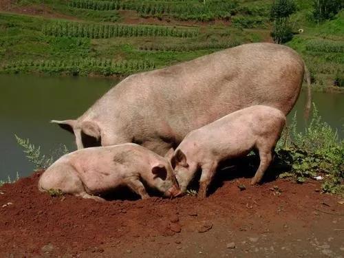 """猪价又现攀升势头,这次""""小火苗""""能维持多久?"""