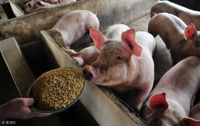 这种饲喂方式,有助于减少非瘟病毒通过饲料传染的风险