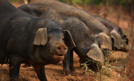 11月22日全国生猪价格土杂猪报价表,上海土杂猪价格单日上涨2.33元/公斤