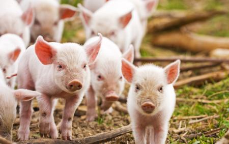 11月22日全国各省市仔猪价格报价表,全国土杂仔猪低至50元每公斤