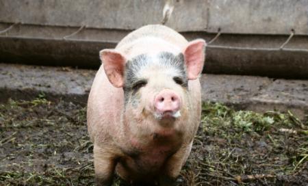11月22日全国生猪价格外三元报价表,生猪价格呈现回暖迹象
