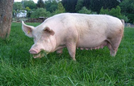 11月23日全国各地区种猪价格报价表,江苏沭阳母猪报价远低于全国水平