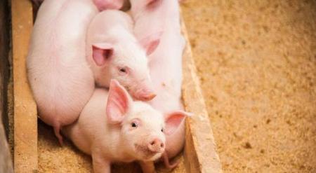 11月23日全国生猪价格,波动逐渐缩小,高猪价还能撑多久?
