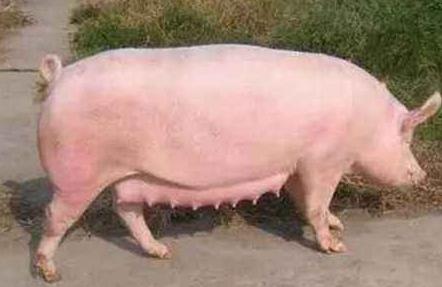 看母猪乳房判断是否怀孕
