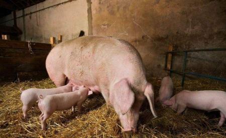 一招辨别母猪是否怀孕 通过肉眼即可快速准确判断