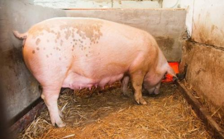 11月25日全国各地区种猪价格报价表,河南母猪价格保持在高位
