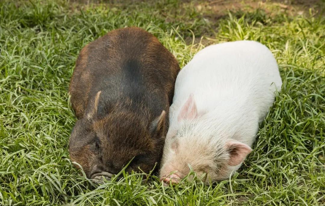为保证生猪市场供应平稳,保护好养殖户积极性是关键!