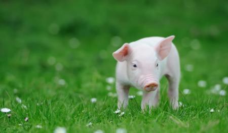 11月26日全国各省市仔猪价格报价表,吉林仔猪价格保持在百元以内