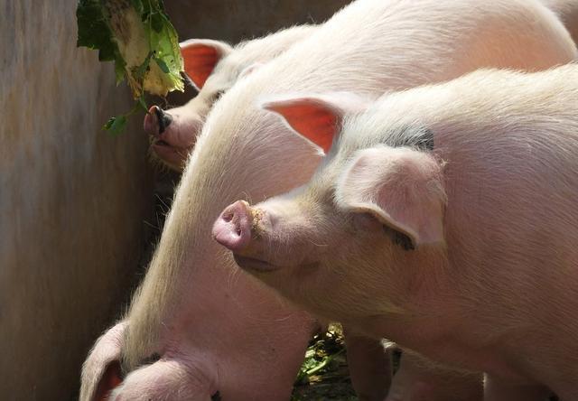 母猪产后,出现尿潴留怎么办?