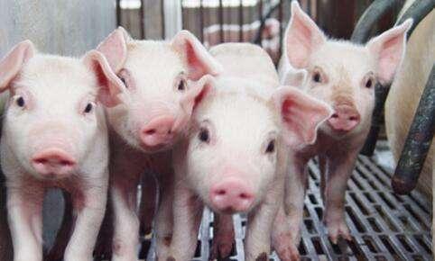 造成仔猪生长缓慢的六大罪魁祸首