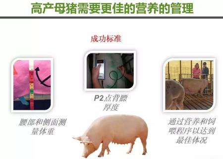高产母猪的营养管理