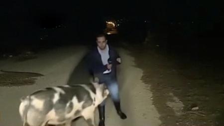"""希腊一记者直播时被猪""""尾随"""" 记者被追着跑支持人笑喷"""