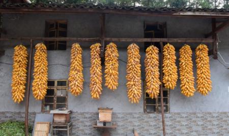 国内玉米供应偏紧 巴西或鼓励商家进口部分玉米